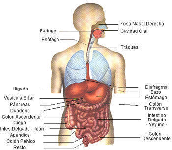 aparato digestivo anatomia humana
