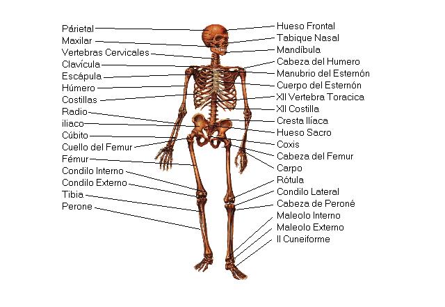 definicion musculo: